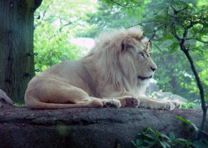LION FULL SHOT